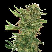 Sensi Seeds N13 Kush 17,50.- €-tól