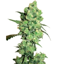 Sensi Seeds Super Skunk 3 db