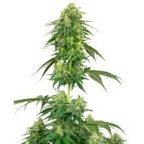 Sensi Seeds Strawberry Kush 3 db