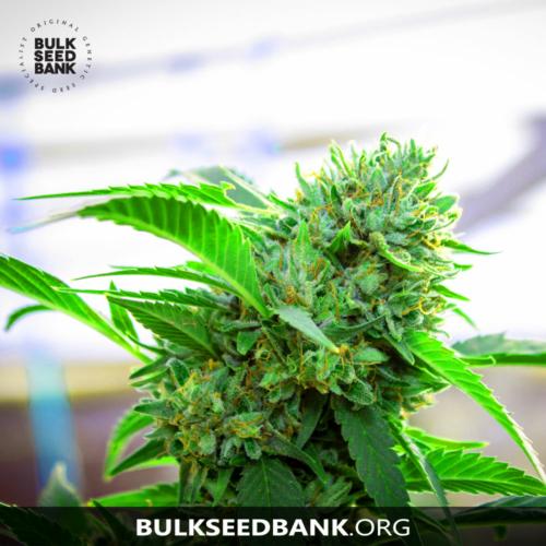 Bulk Seed Bank Auto AK 5 db