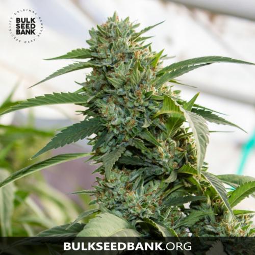 Bulk Seed Bank Auto AMNESIA PLATINUM 5 db