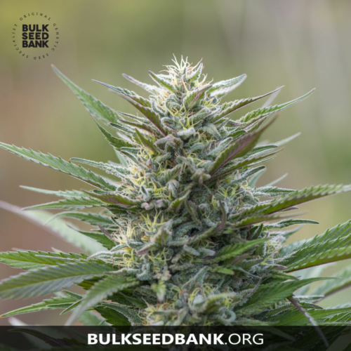 Bulk Seed Bank Auto BLUEBERRY BERRY 5 db