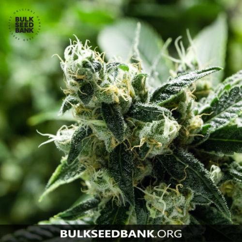 Bulk Seed Bank Auto CHRONICAL 5 db