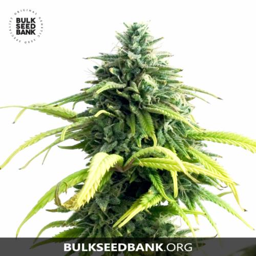 Bulk Seed Bank Auto LIME SKUNK 5 db