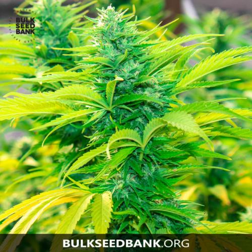 Bulk Seed Bank Auto NORTHERN LIGHT 10 db