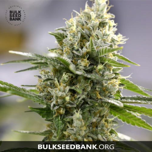 Bulk Seed Bank Auto PERFECT POWER PLANT 5 db