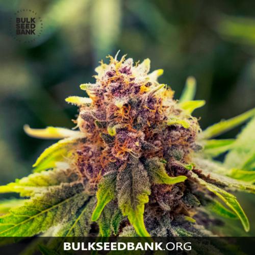 Bulk Seed Bank Auto PURPLE GLAM KUSH 5 db