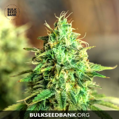 Bulk Seed Bank Auto Sweet Tooth 10 db