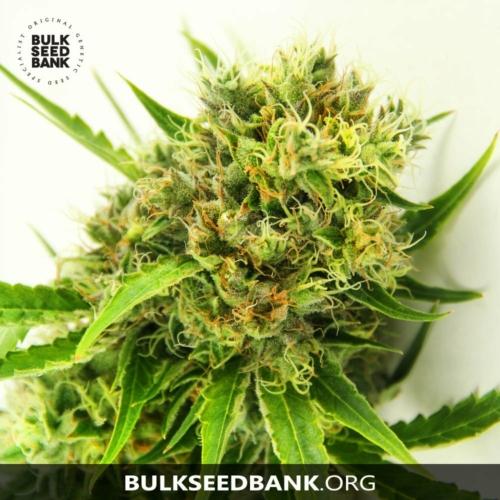 Bulk Seed Bank AK 5 db