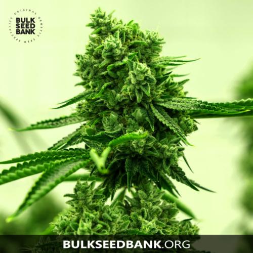 Bulk Seed Bank AMNESIA HAZE 5 db