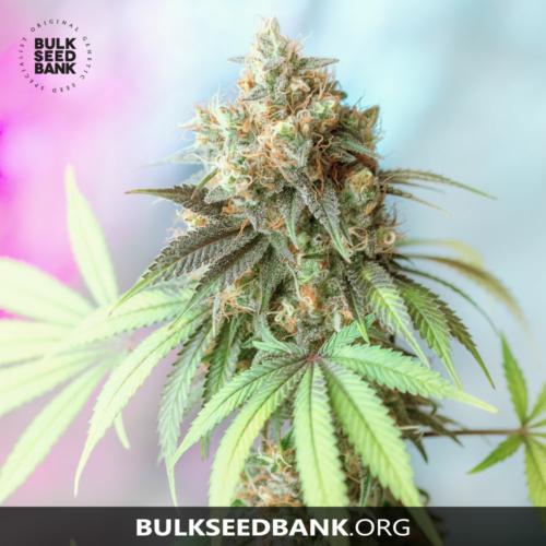 Bulk Seed Bank BIGGER BUD 5 db