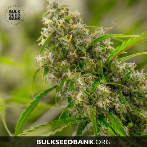 Bulk Seed Bank CHRONICAL 5 db