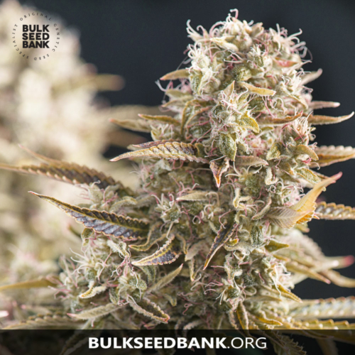 Bulk Seed Bank COCOPOPO 5 db