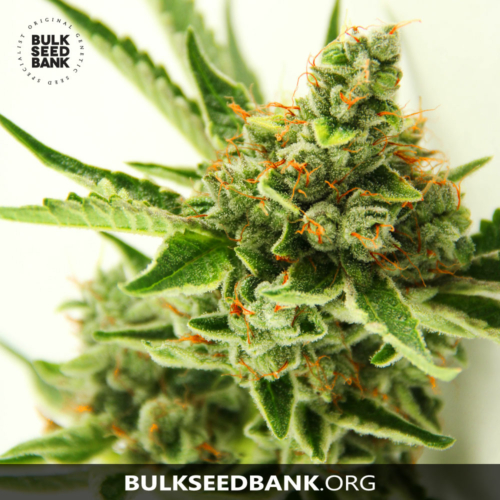 Bulk Seed Bank CRITICAL MASS 5 db