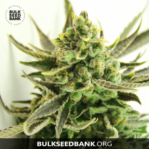 Bulk Seed Bank CRITICAL 5 db