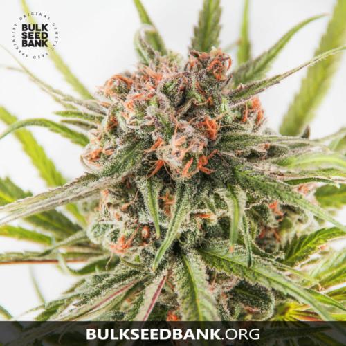 Bulk Seed Bank DARK DOMINA 5 db