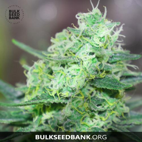 Bulk Seed Bank LIME SKUNK 5 db