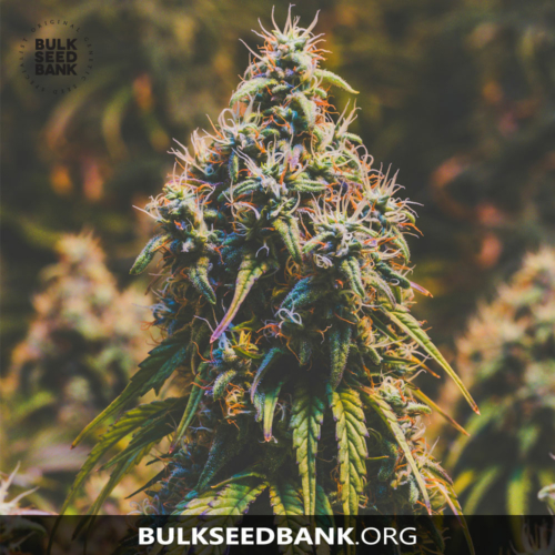 Bulk Seed Bank MOBY BIG 5 db