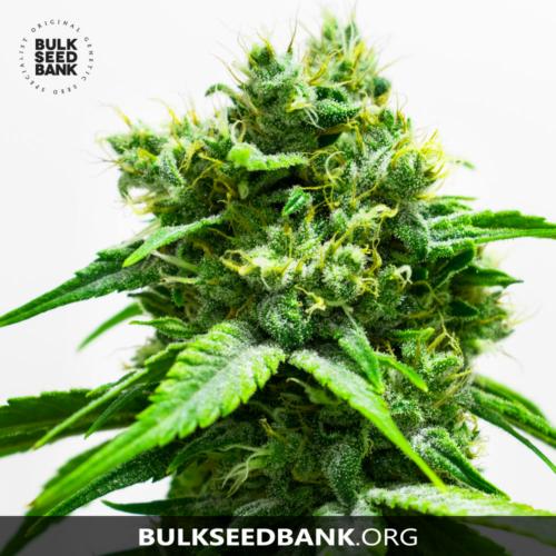 Bulk Seed Bank NORTHERN LIGHT 5 db