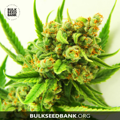 Bulk Seed Bank ORIGINAL ORANGE BUD 5 db
