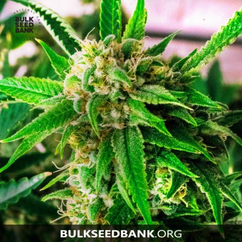 Bulk Seed Bank PERFECT POWER PLANT 5 db