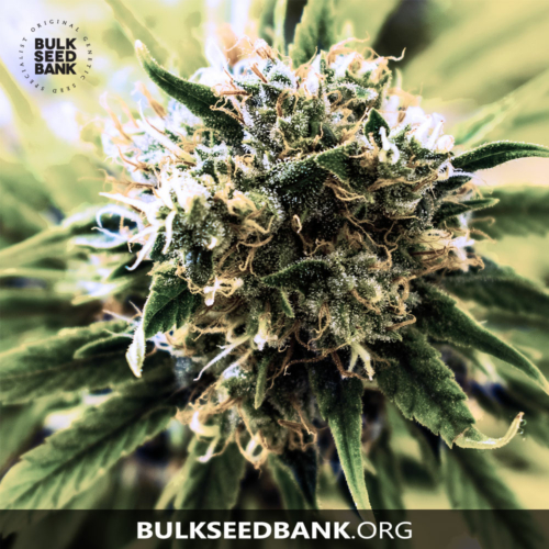 Bulk Seed Bank SPECIAL SKUNK 5 db