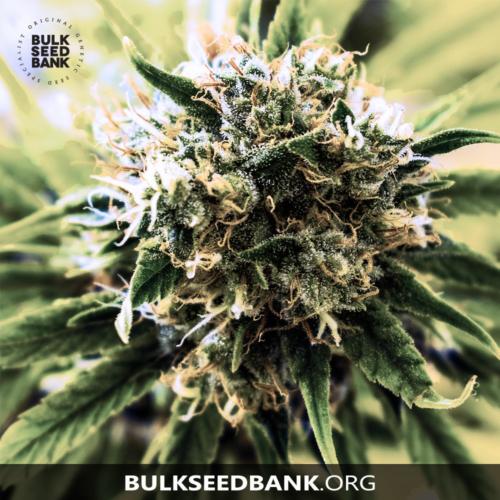 Bulk Seed Bank SPECIAL SKUNK 10 db