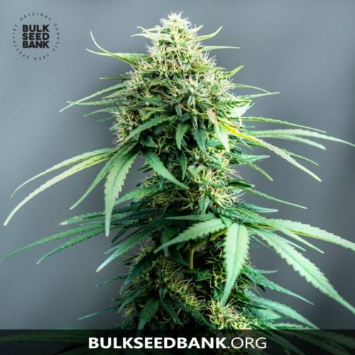 Bulk Seed Bank WHITE WIDOW 10 db