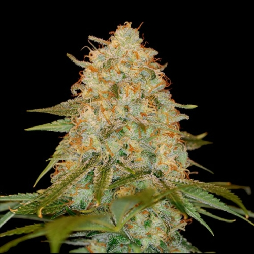DNA Genetics LA Chocolat 3 db