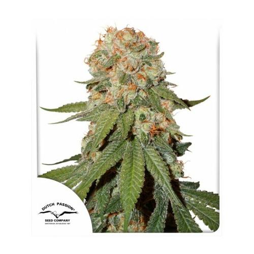 Dutch Passion Seed Company Orange Bud 3 db