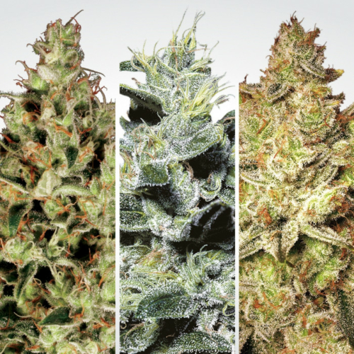 Paradise Seeds Sativa Champions Pack 6 db