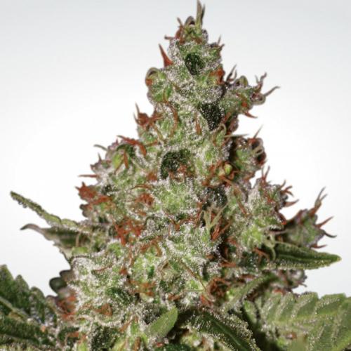 Paradise Seeds Acid 5 db