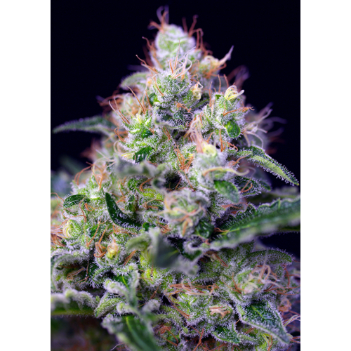 Sweet Seeds Cream Caramel F1 Fast Version 5 db